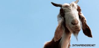 allevare capre, allevamento capre